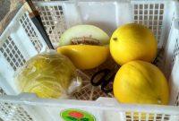 melon golden lampung timur