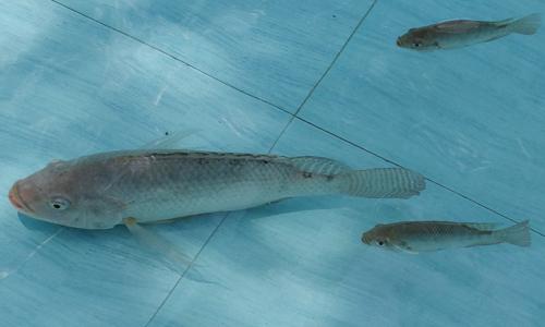 cara pembesaran ikan nila